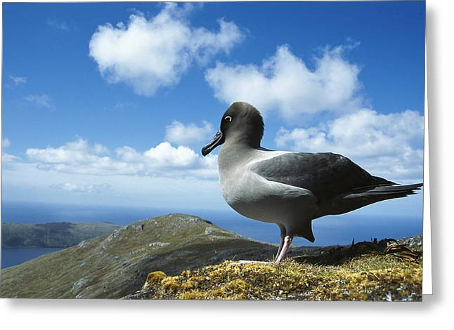 Light-mantled Albatross Campbell Island Greeting Card by Tui De Roy