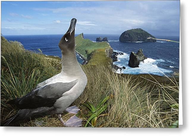 Wildlife Celebration Greeting Cards - Light-mantled Albatross Sky-pointing Greeting Card by Tui De Roy