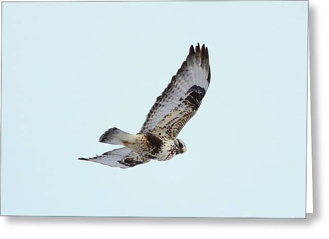 Morph Greeting Cards - Light morph Rough-legged Hawk Greeting Card by Lori Tordsen