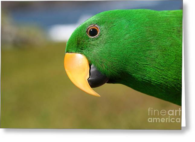 Parrot Art Print Greeting Cards - Light of Love - Eclectus Parrot Greeting Card by Sharon Mau