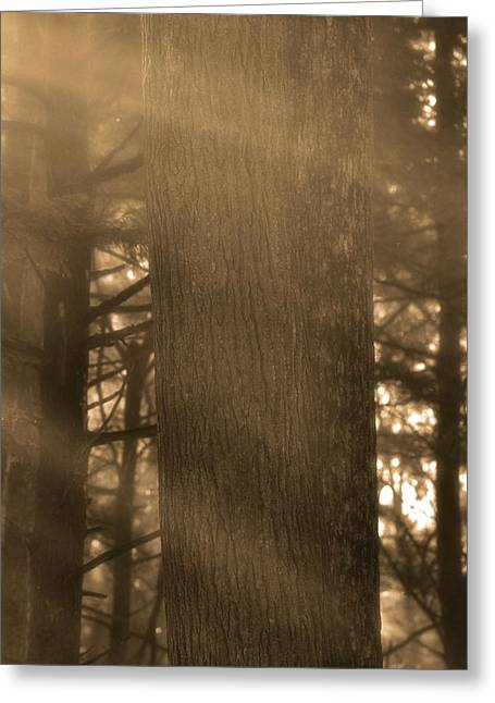 Tree In Golden Light Greeting Cards - Light Rays In The Forest Greeting Card by Dan Sproul