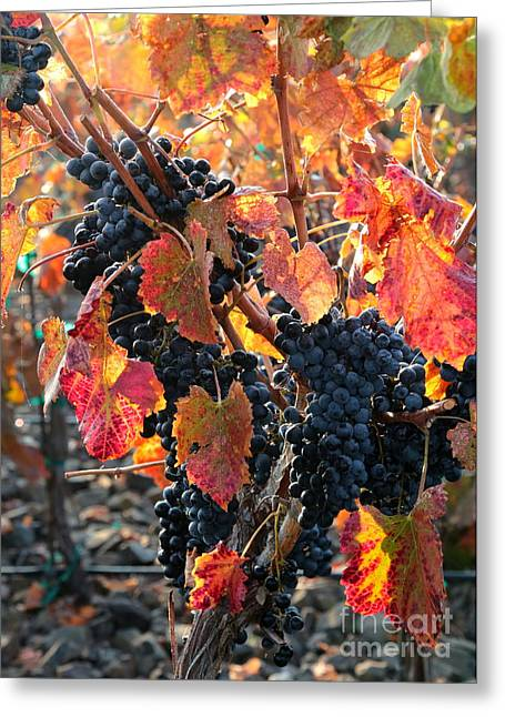Light Through Fall Vineyard Greeting Card by Carol Groenen