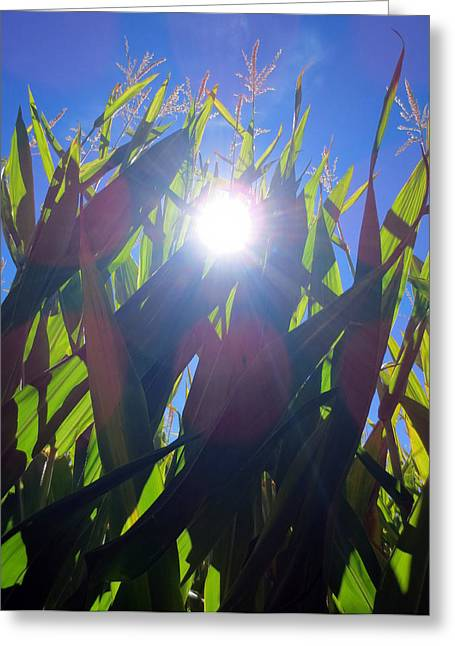 Corn Maze Greeting Cards - Light Through the Corn Maze Greeting Card by Brooke Finley
