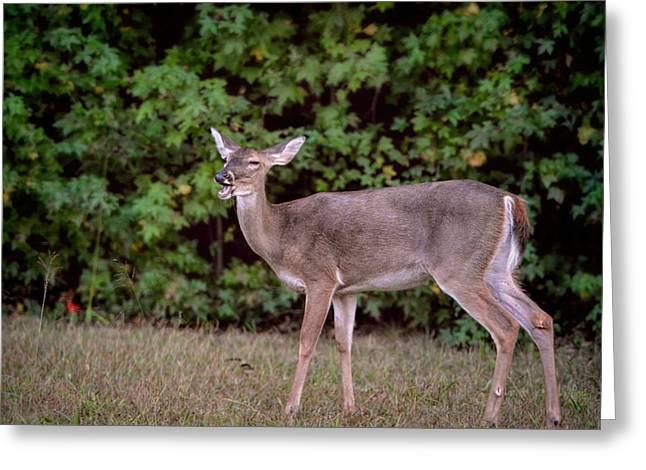 Animals Photos Greeting Cards - Lighten Up - The Laughing Deer Greeting Card by Jai Johnson