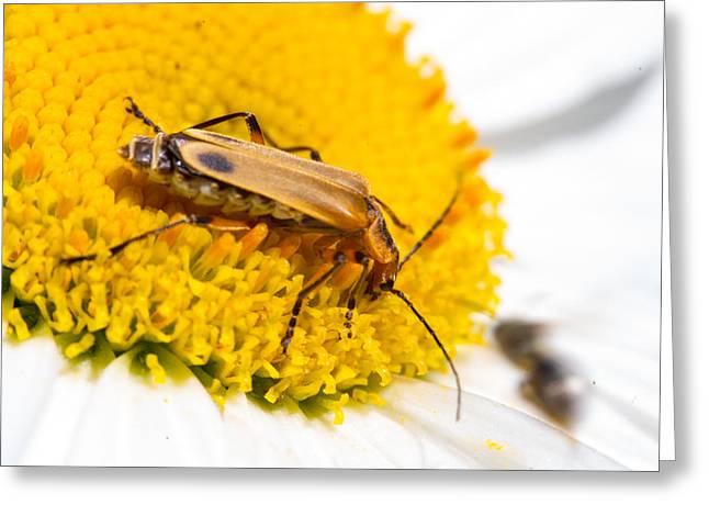 Lightning Bug Greeting Cards - Lightning Bug Feeding on Pollen 4 Greeting Card by Douglas Barnett