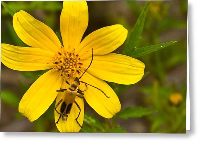 Lightning Bug Greeting Cards - Lightning Bug on Flower Greeting Card by Douglas Barnett