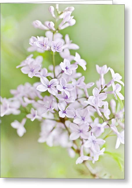 Lilac Blossoms Greeting Card by Frank Tschakert