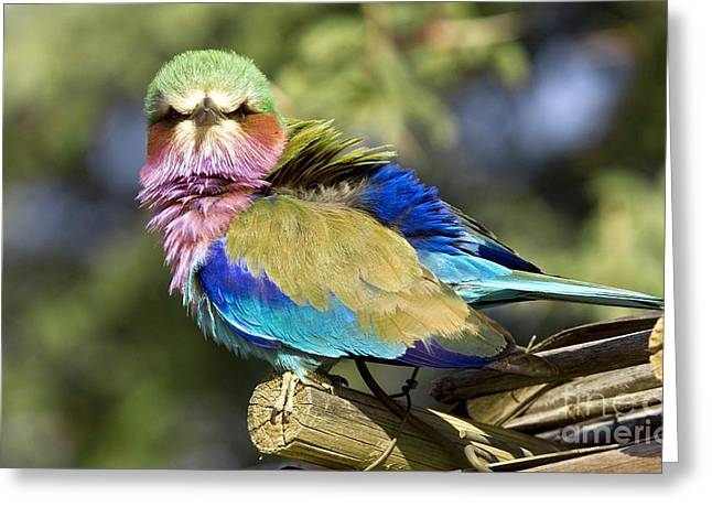 Coloured Plumage Greeting Cards - Lilac-breasted Roller Greeting Card by Bob Gibbons