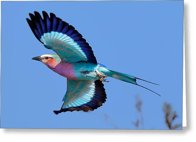 Spreads Greeting Cards - Lilac-breasted Roller in flight Greeting Card by Johan Swanepoel