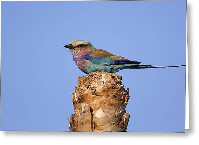 Lilac Roller Greeting Cards - Lilac-breasted Roller Perching Africa Greeting Card by Pete Oxford