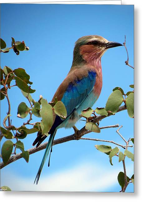Greeting Cards - Lilac Breasted Roller Greeting Card by Ramona Johnston
