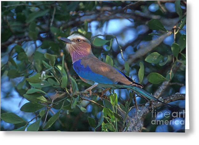 Lilac Roller Greeting Cards - Lilac-breasted Roller Greeting Card by Ron Sanford