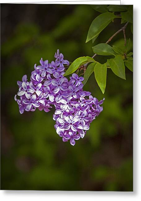 Oleaceae Greeting Cards - Lilac Flower Blossoms Greeting Card by Randall Nyhof