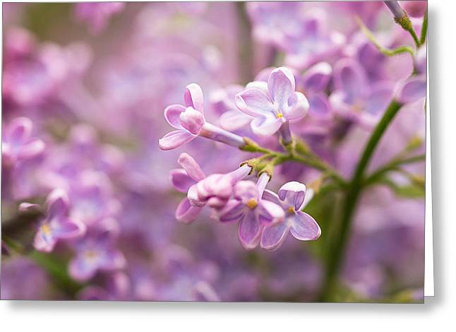 Pink Flower Branch Greeting Cards - Lilac Flowers 1 Greeting Card by Alexander Senin