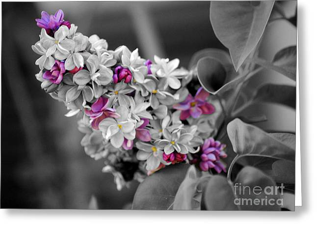 Lilac Flower Greeting Cards - Lilac Flowers Greeting Card by Jai Johnson