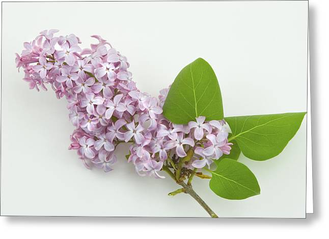 Flower Still Life Greeting Cards - Lilac Flowers - White Background Greeting Card by Keith Webber Jr