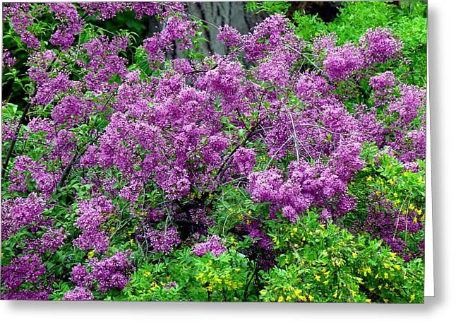 Lilac Laneway  Greeting Card by Will Borden