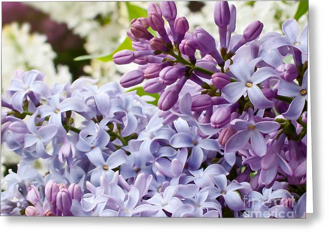 Lilac Greeting Cards - Lilac Palate Greeting Card by Ken Marsh