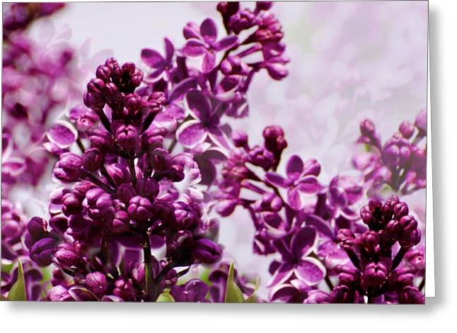 Spring Fever Greeting Cards - Lilac Time Greeting Card by Diane Schuster