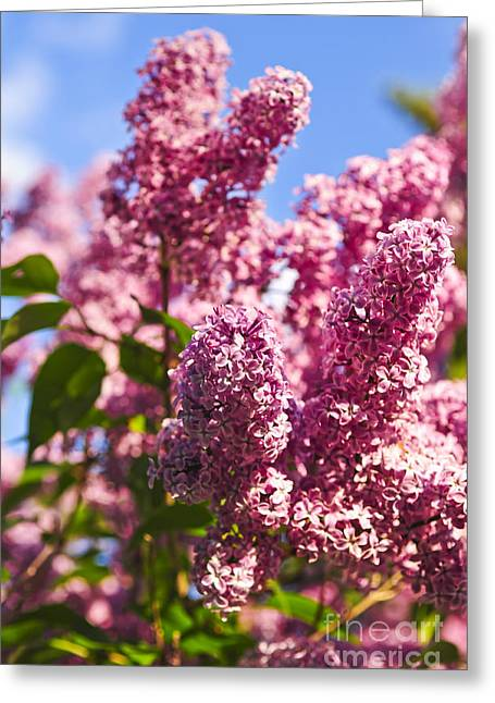 Flowering Greeting Cards - Lilacs Greeting Card by Elena Elisseeva