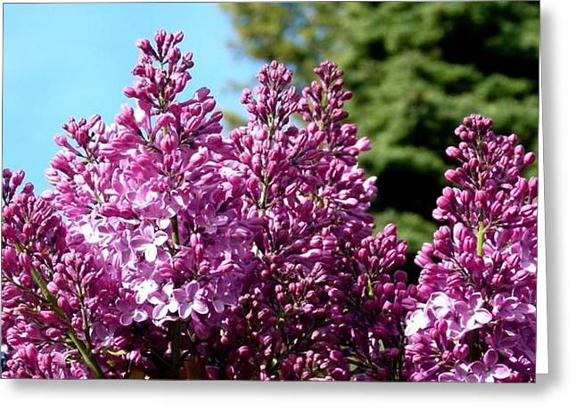 Lilac Greeting Cards - Lilacs- Horizontal Format Greeting Card by Will Borden