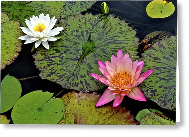 Lilly Pads Greeting Cards - Lilies and Pads Greeting Card by Frozen in Time Fine Art Photography