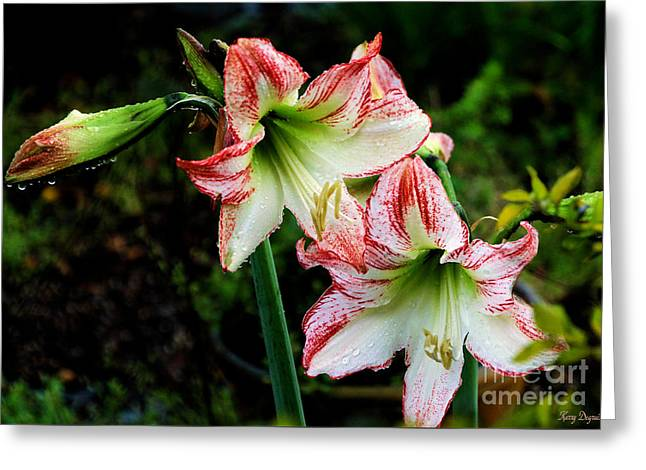 Spring Bulbs Greeting Cards - Lilies in the Rain Greeting Card by Karry Degruise