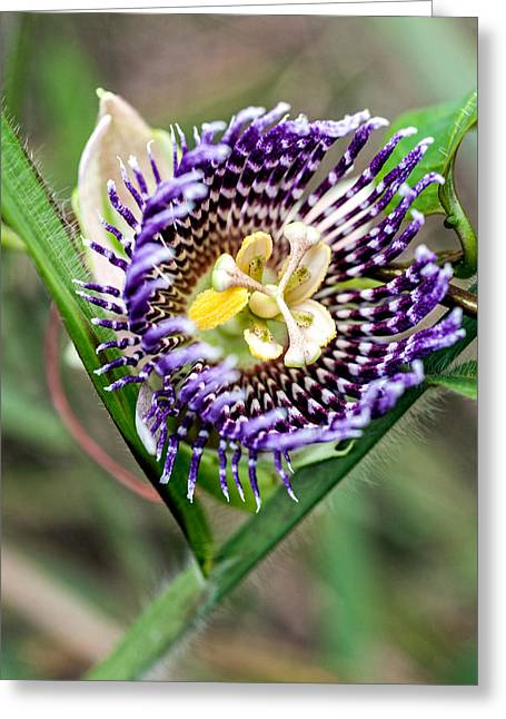 Passionflower Photographs Greeting Cards - Lilikoi Flower Greeting Card by Dan McManus