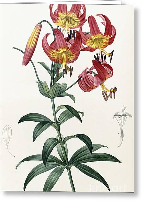 Floral Posters Greeting Cards - Lilium Superbum Greeting Card by Pierre Joseph Redoute