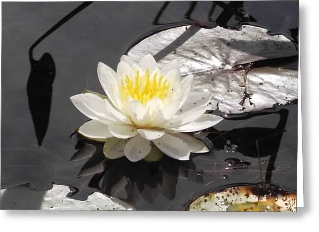 Water Lilly Greeting Cards - Lilly Greeting Card by Amanda Thorpe