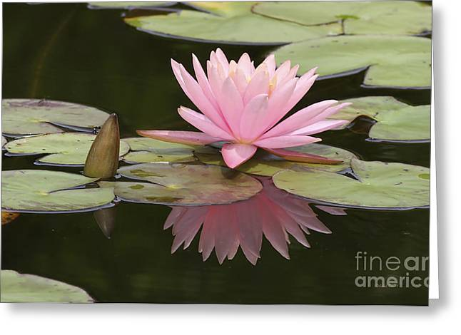 Waterlillies Greeting Cards - Lilly And Reflective Beauty Greeting Card by Deborah Benoit