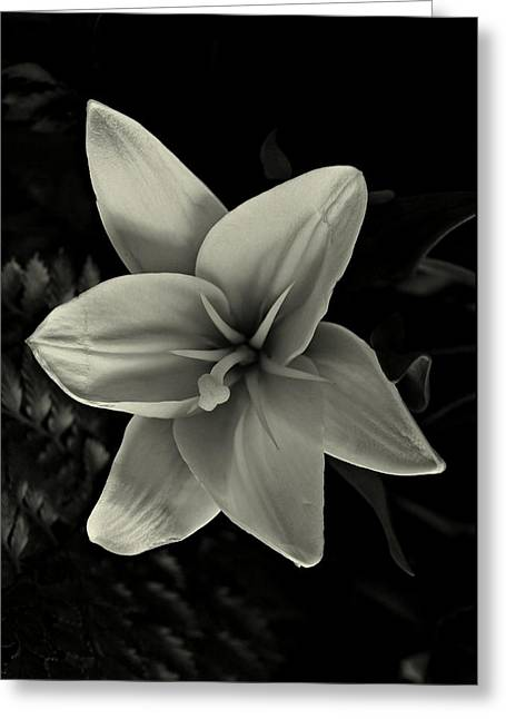 Lilly In Black And White Greeting Card by David Dehner