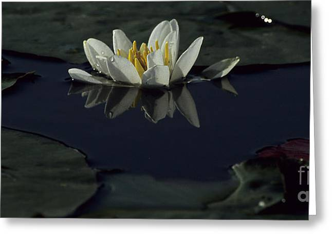Water Lilly Greeting Cards - Lilly of the Morning Greeting Card by Sharon Elliott