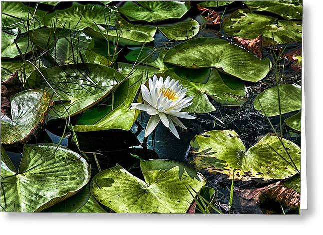 Water Lilly Greeting Cards - Lilly OH Lilly Greeting Card by Joel P Black