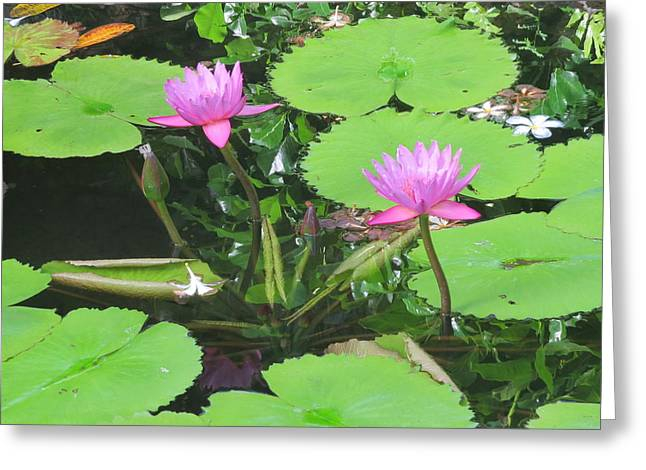 Lilly Pads Greeting Cards - Lilly Pad in Hawaii Greeting Card by Karen Winkfield