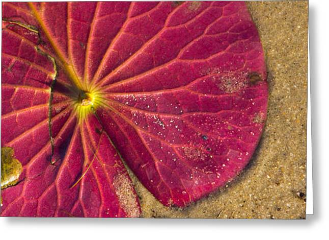 Lilly Pads Greeting Cards - Lilly Pad Greeting Card by Wayne Vedvig
