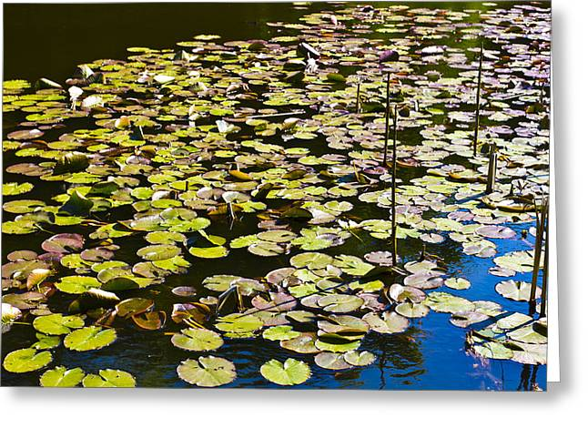 Lilly Pads Greeting Cards - Lilly pads Greeting Card by David Pyatt