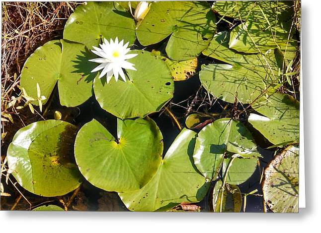 Lilly Pad Greeting Cards - Lilly Pads Greeting Card by Joam Bigelow
