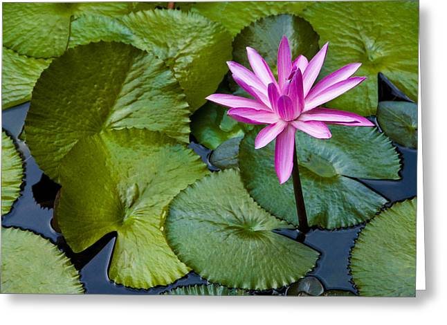 Lilly Pads Greeting Cards - Lilly Greeting Card by Pat Bourque