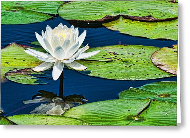 Lilly White Greeting Card by Frank Feliciano