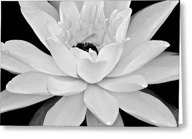 Lilly Pad Greeting Cards - Lilly White Greeting Card by Frozen in Time Fine Art Photography