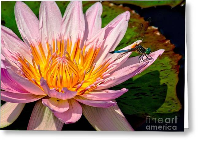 Aquatic Greeting Cards - Lily and Dragon Fly Greeting Card by Nick Zelinsky