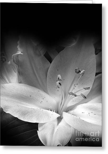 Lily Art Greeting Cards - Lily flower black and white Greeting Card by Lutz Baar