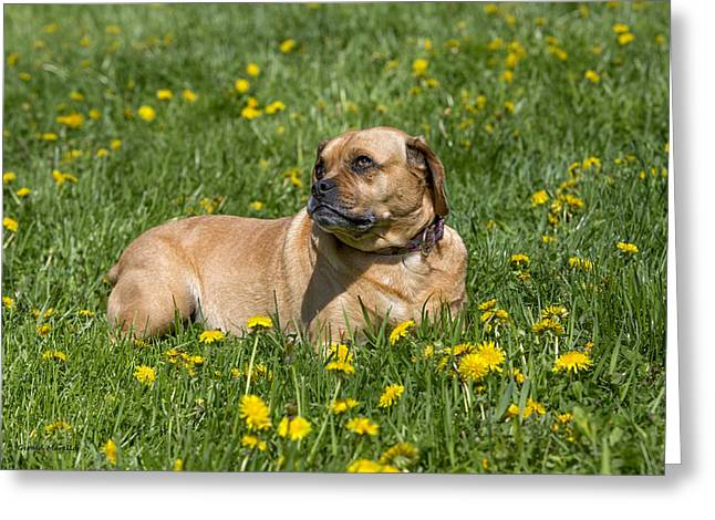 Puggle Greeting Cards - Lily Greeting Card by Gerald Marella