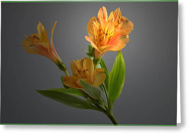 Alstroemeria Greeting Cards - Lily Highlight. Greeting Card by Terence Davis