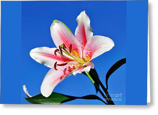 Stargazer Greeting Cards - Lily in the Sky Greeting Card by Kaye Menner