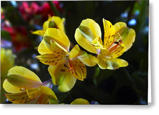 Peruvian Lily Greeting Cards - Lily of the Incas Greeting Card by Kurt Van Wagner