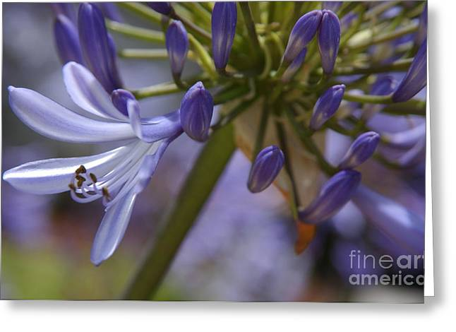 African Lily Greeting Cards - Lily of the Nile in Pacific Beach Greeting Card by Anna Lisa Yoder