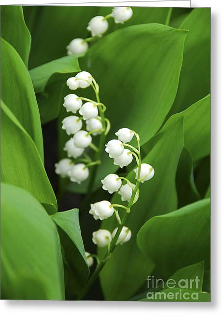 Green Leafs Greeting Cards - Lily-of-the-valley  Greeting Card by Elena Elisseeva