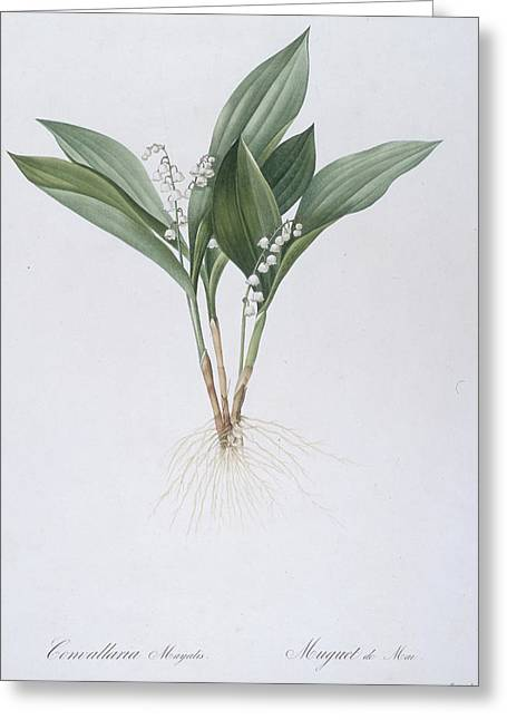 Floral Posters Greeting Cards - Lily of the Valley Greeting Card by Pierre Joseph Redoute
